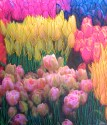 "Seattle TulipsLouise Schiele8"" x 6"""