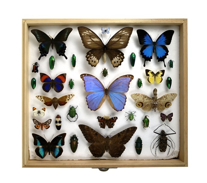 Collection of mounted insects