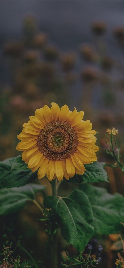 sunflower iPhone X Wallpaper Download | iPhone Wallpapers ...