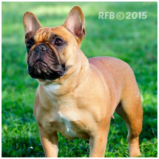 Hawaii-French-Bulldogs