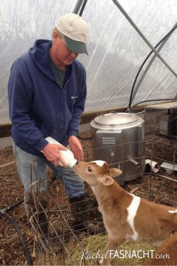 bottle feeding bull calf at FamiMatt bonding with bull calf while he bottle feeds it at Family Friendly Farm.ly Friendly Farm