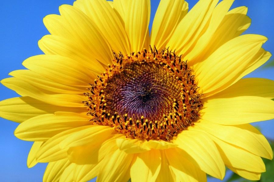 sun-flower-179010_1280