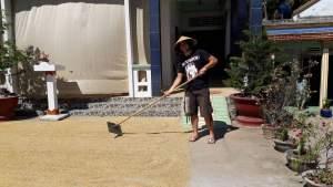 Der Reisbauer ihre Vertrauens