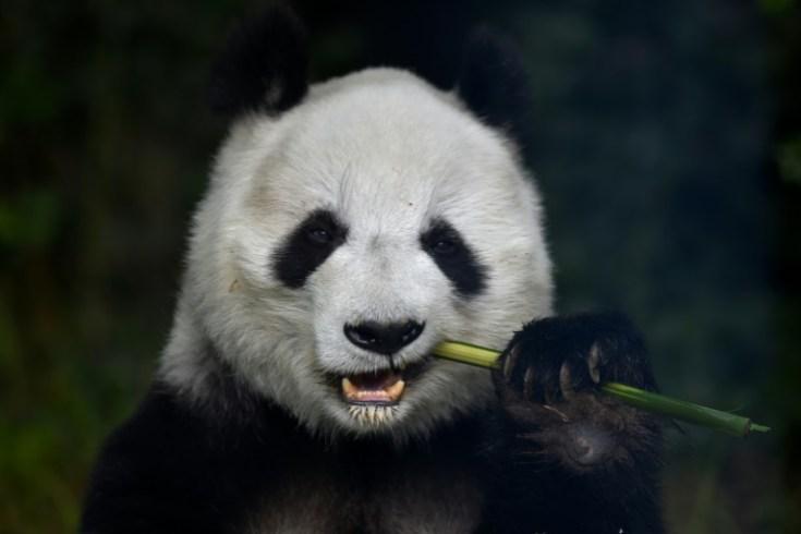 """En 2016, el panda se alejó del peligro de extinción, pasando de la categoría """"en peligro"""" a """"vulnerable"""" AFP / Pedro Pardo"""