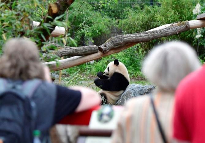 Dos grandes amenazas pesaban sobre el panda: la destrucción y la fragmentación de su hábitat a causa de la deforestación, la extensión de las tierras agrícolas, la ganadería y la caza para el comercio de su piel AFP / Tobias Schwarz