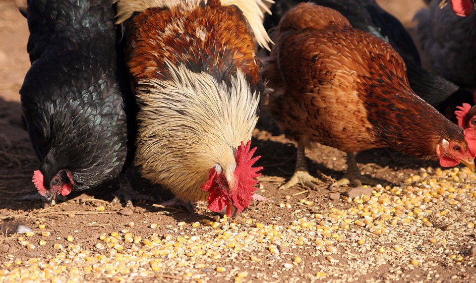 Contract_Ag_Chickens_eating