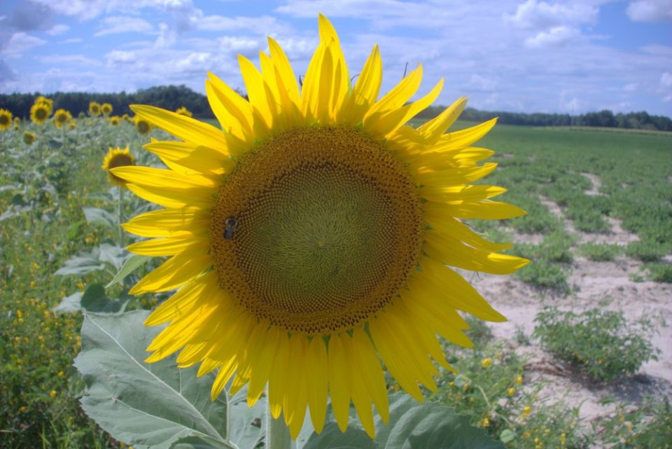 Bee-on-Sunflower