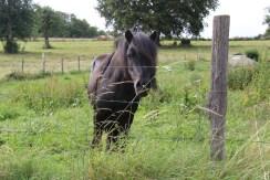 Pompon le poney