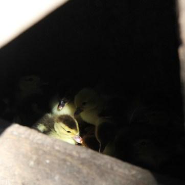 Portée de canetons de Barbarie nés dans la nuit