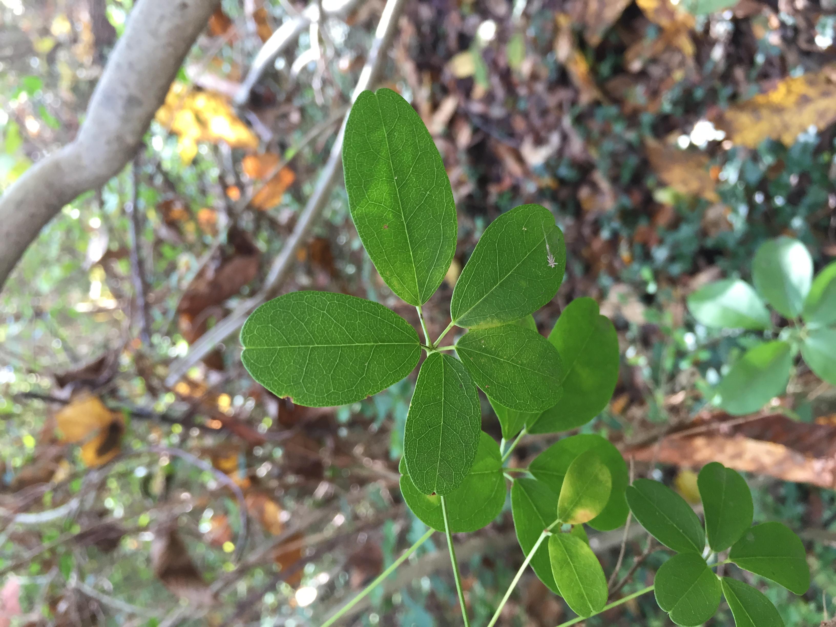 Fullsize Of 5 Leaf Vine