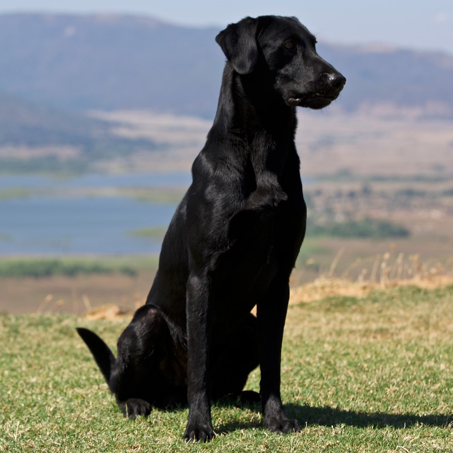 Inspirational Sale Raney Ranch Retrievers Trained Dogs Rio Tuff As Stihl Sh Gun Dogs Sale Michigan Trained Dogs Sale Ohio bark post Trained Dogs For Sale