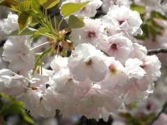 イチヨウ(新宿御苑・桜園地、2010年4月21日昼撮影)