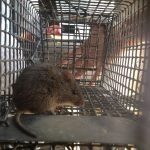 Rat Trapping Job in Sandy Springs