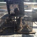 Many rats were removed from this Roswell Rat Trapping Job