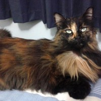 Smudge - A Maine Coon Journal