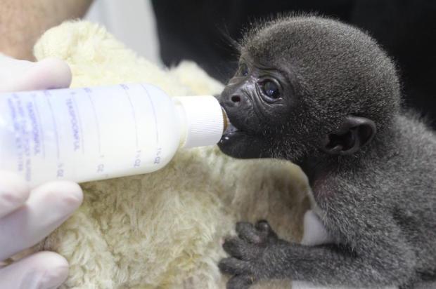 Filhotes de macaco ameaçado de extinção nascem em Pomerode