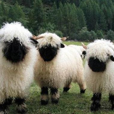 cute black-faced sheep