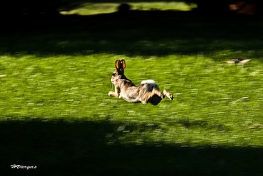 rabbit running