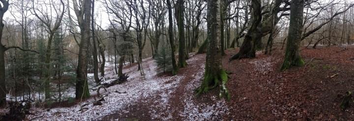 A panorama bøgetræer 2