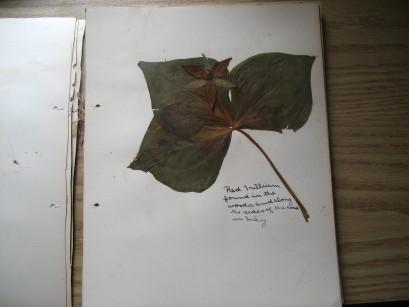 Specimen de Trille rouge