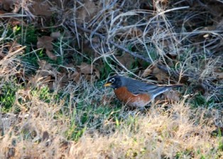 blog-robins85.jpg