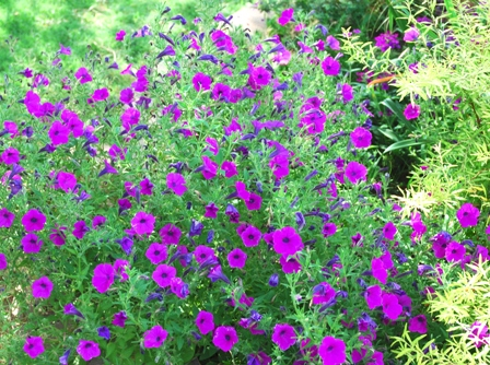 'Laura Bush' petunia, an older variety, but wonderful.
