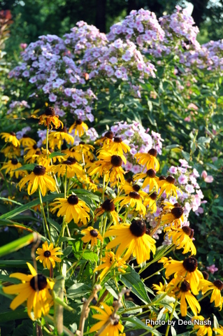 The Susans with Phlox paniculata 'Bright Eyes'