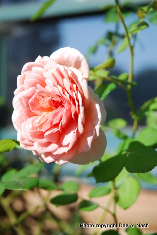 david austin roses for the humid south red dirt ramblings. Black Bedroom Furniture Sets. Home Design Ideas