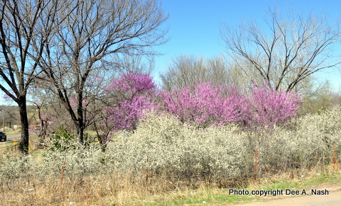 These redbuds and sand plums are on the road to my house. The sand plums make a nice understory.