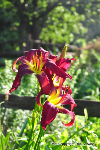 Hemerocallis 'Brooklyn Twist'