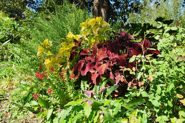 Coleus garden. Sun coleus were the stars of the garden this year. Heat did not diminish them.