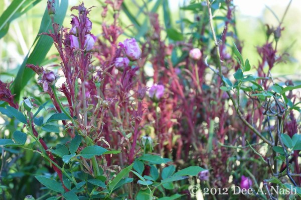 """Rose Rosette Disease on my 'Zephirine Drouhin' rose. Note the sickly pinkish color, and the misshapen roses behind the """"witch's broom."""""""