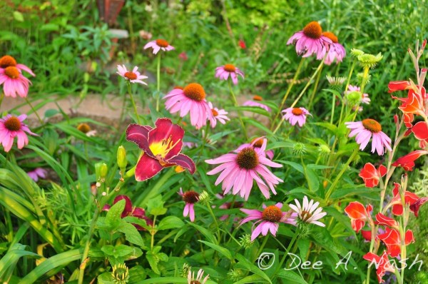 Echinacea purpurea, which now reseeds throughout the garden with Hemerocallis 'Thunder and Lightning'