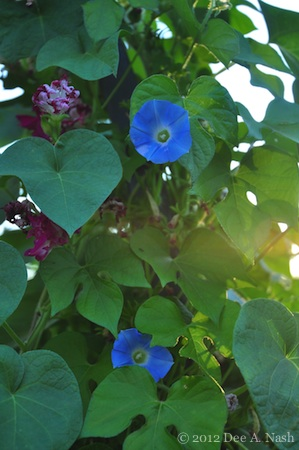 'Heavenly Blue' morning glory climbing with a double-flowering 'Sunrise Serenade' morning glory.