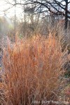 Panicum virgatum grass turns red in winter.