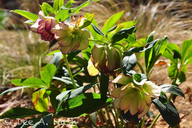 Fully double 'Peppermint Ice' hellebore