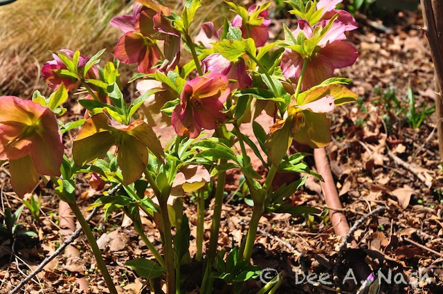 Pink hellebore from the Brandywine Series