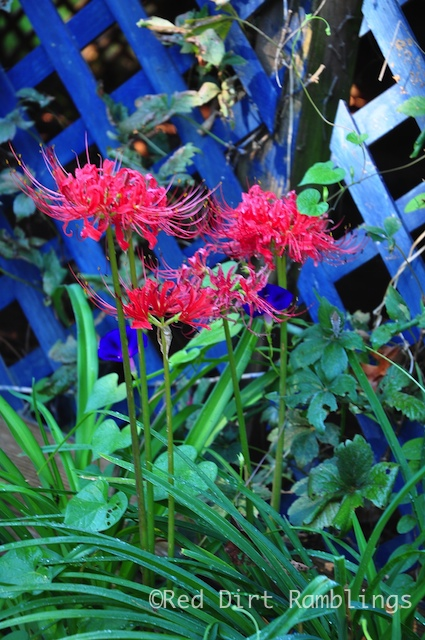 Lycoris radiata against blue lattice fence below deck.