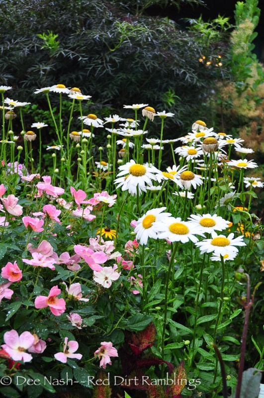 'Becky' shasta daisy with Rainbow Knockout rose and Black Lace sambucus.