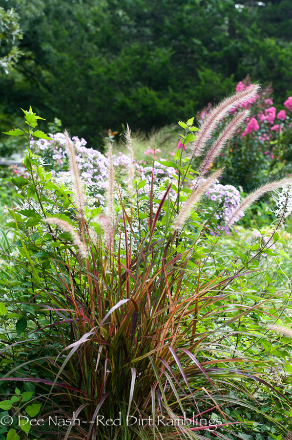 'Fireworks' Pennisetum, with 'Bright Eyes' phlox and 'Pink Velour' crapemyrtle behind.