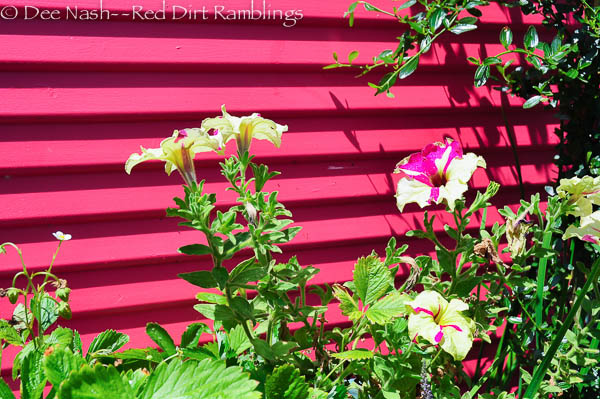 Petunia against a hot pink fence in Keeyla's garden. This petunia may be 'Fancy Dress.' I grow it too.
