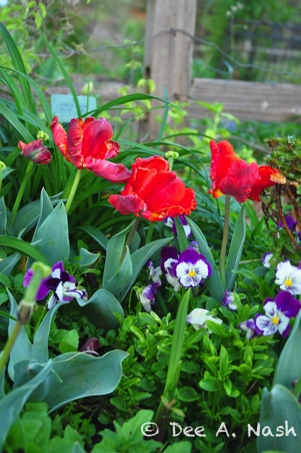 'Rococo' tulips with pansies in my garden
