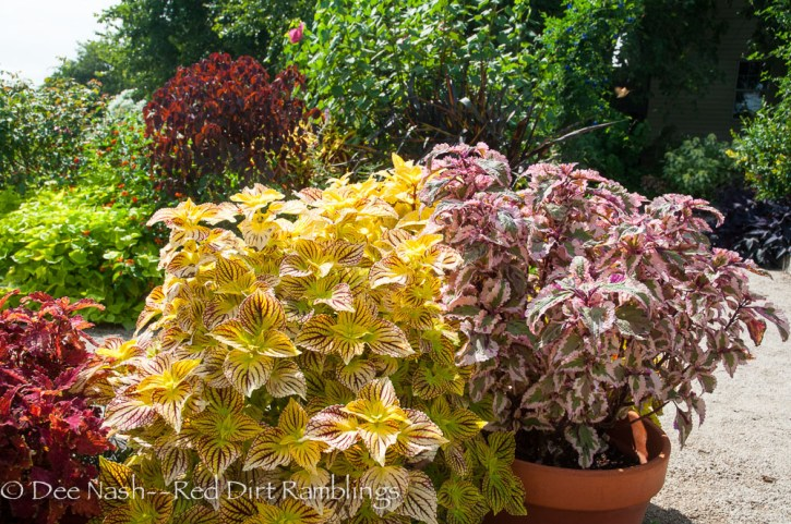 'Cathedral Windows' and 'Anna' coleus.' The coleus on the far left is 'Copper,' and the dark plant in the back is Euphorbia continifolia 'Atropurpurea,' Caribbean copper plant.