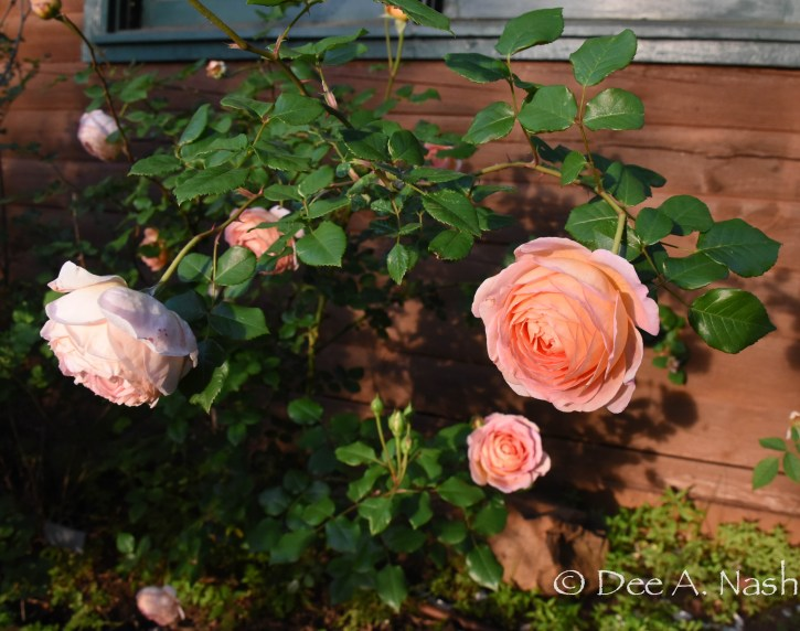 Rosa 'Abraham Darby' in the border on the East side of the house. --Dee Nash--Red Dirt Ramblings