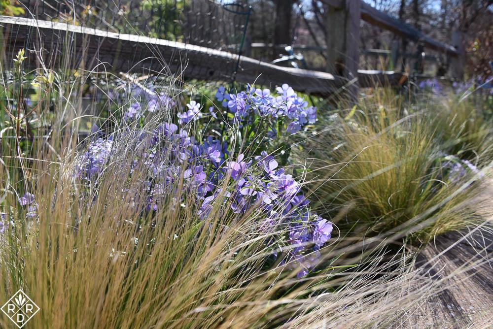 Grow this! Phlox divaricata