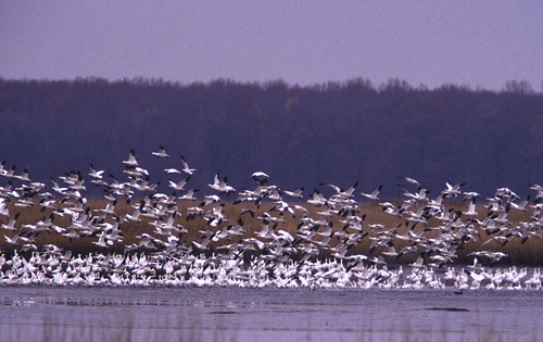 bombay__hook_snow_geese