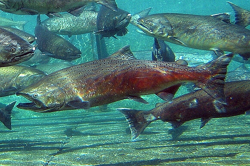 chinook_salmon_by_pnll