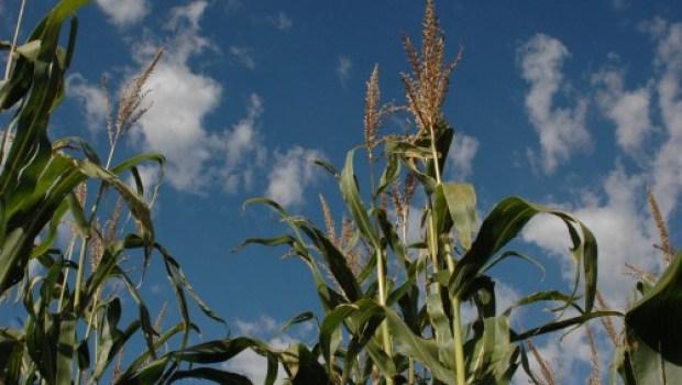 corn-field-mattdente