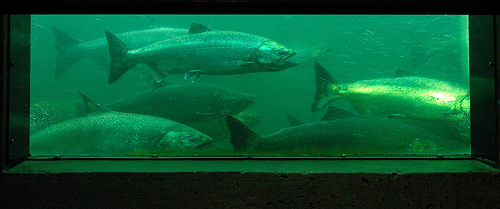 Shocking water mismanagement is wiping out western chinook salmon