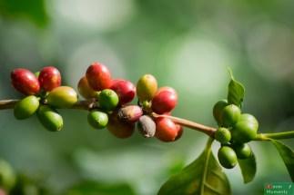 Owoce kawowca dojrzewają w róznym czasie, co utrudnia ich zbieranie.